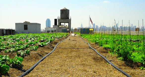 Urban Rooftop Farms: Brooklyn Grange