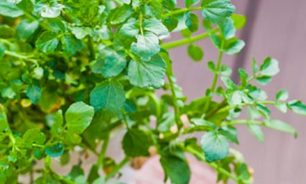 Hydroponics – Watercress
